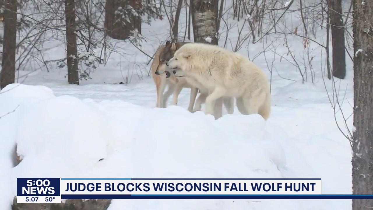 Judge blocks Wisconsin fall wolf hunt