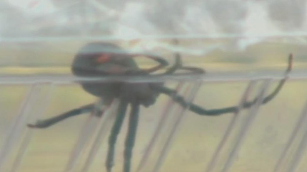 Several Phoenix residents report seeing black widow spiders