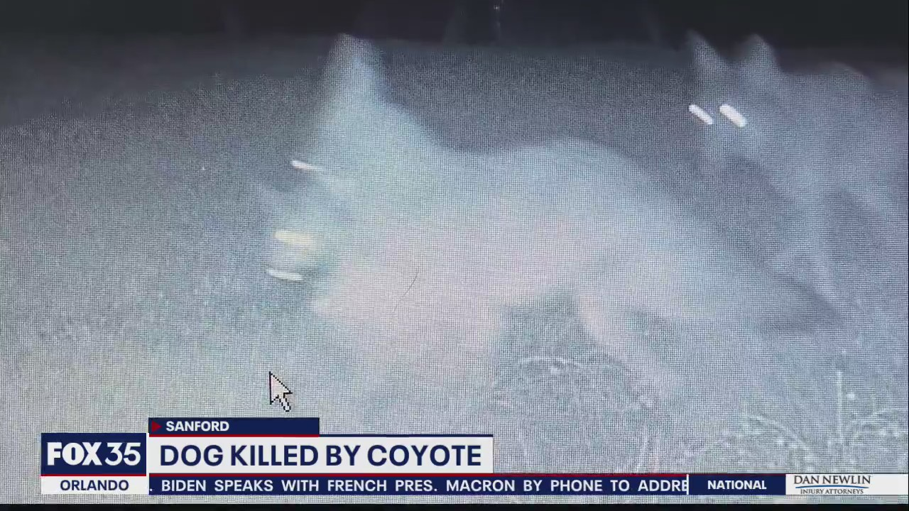 Owners distraught after coyotes drag away Sanford dog