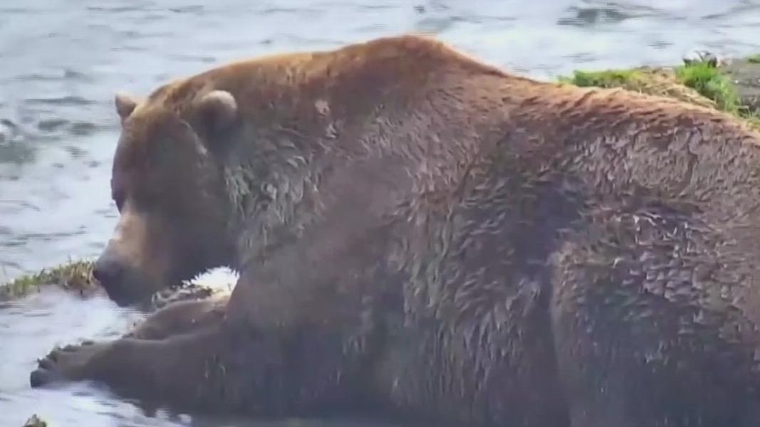 It's officially Fat Bear Week